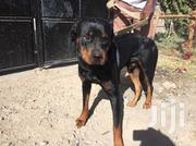 Adult Male Purebred Rottweiler | Dogs & Puppies for sale in Kajiado, Kitengela