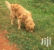 Young Male Purebred Golden Retriever | Dogs & Puppies for sale in Nairobi, Nairobi Central