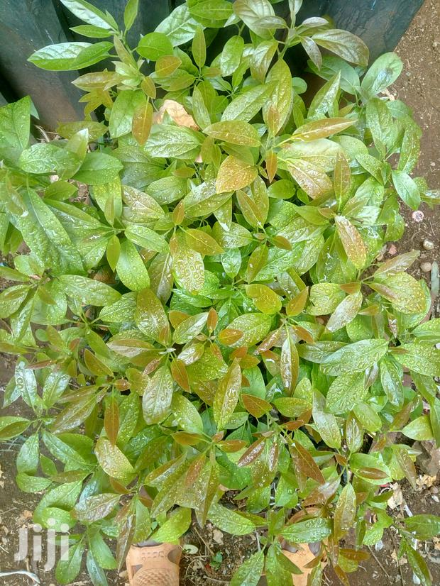 Archive: Hass Avocado Seedlings + More Seedlings @ Affordable Prices