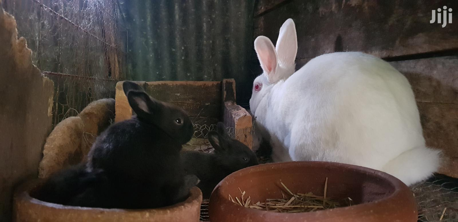 Archive: Selling Rabbits - New Zealand White