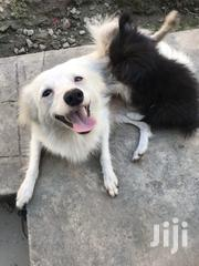 Adult Female Mixed Breed Pomeranian | Dogs & Puppies for sale in Mombasa, Bamburi