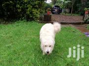 Young Male Purebred West Highland White Terrier | Dogs & Puppies for sale in Kiambu, Ndumberi