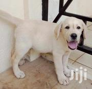 Young Male Purebred Labrador Retriever | Dogs & Puppies for sale in Nairobi, Nairobi Central