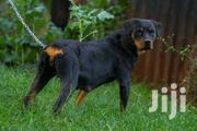 Adult Female Purebred Rottweiler | Dogs & Puppies for sale in Nairobi, Kitisuru