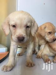 Baby Female Purebred Labrador Retriever | Dogs & Puppies for sale in Nairobi, Parklands/Highridge