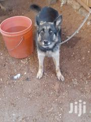 Adult Female Purebred German Shepherd Dog | Dogs & Puppies for sale in Nyeri, Rware