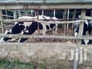 Friesians For Sale! | Livestock & Poultry for sale in Machakos, Mua