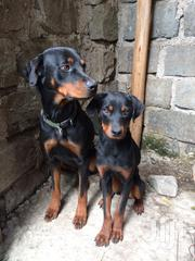 Young Female Purebred Rottweiler   Dogs & Puppies for sale in Kajiado, Ongata Rongai