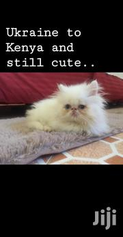 Baby Male Purebred Persian | Cats & Kittens for sale in Nairobi, Lavington