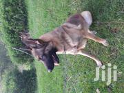 Adult Female Purebred Belgian Malinois | Dogs & Puppies for sale in Kiambu, Limuru Central