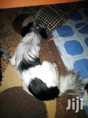 Young Female Mixed Breed Japanese Spitz | Dogs & Puppies for sale in Nairobi, Nairobi Central