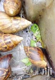 Snails  Snail Shell   Shells   Other Animals for sale in Nairobi, Pangani
