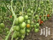 Rambo Tomato Fruits For Sale | Feeds, Supplements & Seeds for sale in Embu, Kyeni South