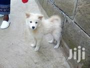 Young Male Purebred Japanese Spitz | Dogs & Puppies for sale in Nakuru, Lanet/Umoja