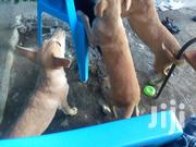 Young Female Mixed Breed Labrador Retriever | Dogs & Puppies for sale in Machakos, Athi River