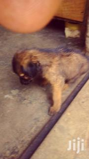 Baby Female Purebred German Shepherd Dog | Dogs & Puppies for sale in Siaya, North Gem