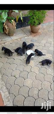 Baby Male Purebred Rottweiler | Dogs & Puppies for sale in Nairobi, Nairobi West