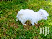 Young Male Mixed Breed West Highland White Terrier | Dogs & Puppies for sale in Nairobi, Pumwani