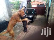 Adult Male Mixed Breed Boerboel | Dogs & Puppies for sale in Mombasa, Bamburi