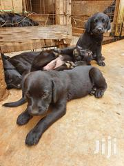 Young Female Purebred Labrador Retriever | Dogs & Puppies for sale in Kiambu, Juja