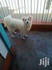 Young Male Purebred Japanese Spitz | Dogs & Puppies for sale in Nairobi, Embakasi