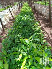 Tea Seedlings For Sale | Feeds, Supplements & Seeds for sale in Kiambu, Githunguri