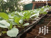 Cabbage Seedlings (Copenhagen Market Variety) | Feeds, Supplements & Seeds for sale in Kiambu, Juja