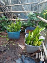 Dragon Fruits Cuttings | Feeds, Supplements & Seeds for sale in Nairobi, Ruai