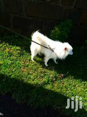 Senior Male Purebred Japanese Spitz | Dogs & Puppies for sale in Nakuru, Nakuru East