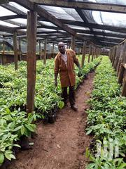 Hass Avocado Seedlings | Feeds, Supplements & Seeds for sale in Nairobi, Kahawa