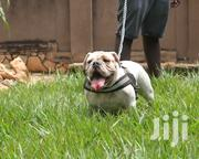 Baby Female Purebred Bulldog | Dogs & Puppies for sale in Busia, Ageng'A Nanguba