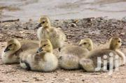 One And Half Months Old Geese Chicks For Sale | Livestock & Poultry for sale in Kisumu, Central Kisumu