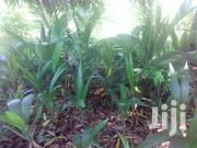 Good Coconut Seedlings | Feeds, Supplements & Seeds for sale in Mombasa, Likoni