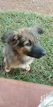 Baby Female Mixed Breed German Shepherd Dog | Dogs & Puppies for sale in Kisii, Masige West