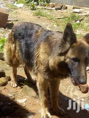 Young Male Purebred German Shepherd | Dogs & Puppies for sale in Bungoma, Township D