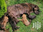 Baby Male Purebred Boerboel | Dogs & Puppies for sale in Kajiado, Ongata Rongai