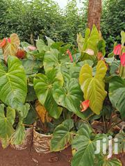 Anthurium Plants | Landscaping & Gardening Services for sale in Nairobi, Kahawa West