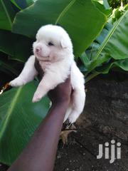 Baby Male Mixed Breed Maltese | Dogs & Puppies for sale in Mombasa, Bamburi