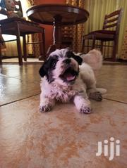 Baby Male Mixed Breed Tibetan Terrier | Dogs & Puppies for sale in Nairobi, Karura