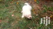 Young Male Purebred Maltese | Dogs & Puppies for sale in Nairobi, South C