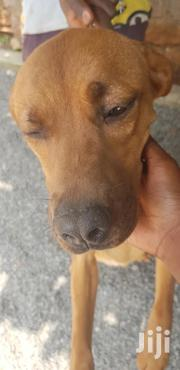 Young Female Mixed Breed American Pit Bull Terrier | Dogs & Puppies for sale in Nairobi, Westlands