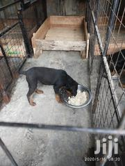 Young Male Purebred Rottweiler | Dogs & Puppies for sale in Nairobi, Embakasi