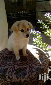 Young Female Purebred | Dogs & Puppies for sale in Nairobi, Utawala