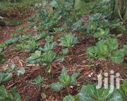 Spinach,Sukuma | Feeds, Supplements & Seeds for sale in Nairobi, Kilimani