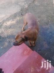 Adult Female Purebred Boerboel | Dogs & Puppies for sale in Nairobi, Karen