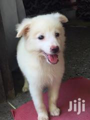 Young Female Mixed Breed Japanese Spitz | Dogs & Puppies for sale in Mombasa, Shimanzi/Ganjoni