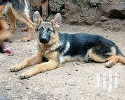 Baby Male Purebred German Shepherd | Dogs & Puppies for sale in Kajiado, Ngong