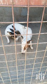 Baby Female Purebred Jack Russell Terrier | Dogs & Puppies for sale in Nairobi, Embakasi