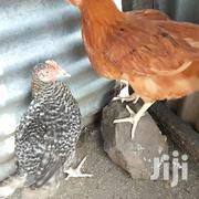 Selling 3 Months Old Rainbow Rosters Chickens | Livestock & Poultry for sale in Kisumu, Muhoroni/Koru