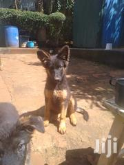 Baby Female Purebred German Shepherd | Dogs & Puppies for sale in Mombasa, Bamburi
